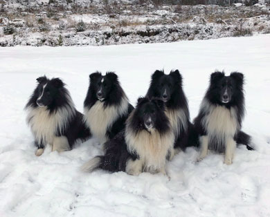 Shelties vinter